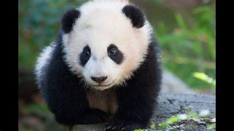 panda bear giant animals  children kids  kindergarten preschool learning toddlers