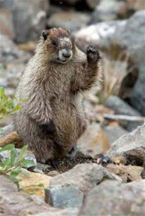 groundhog day concept 1000 images about gophers rock chucks and ground hogs on