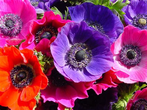 anemone flower meaning the meaning of the anemone flower