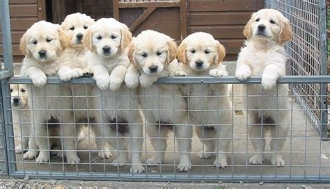 golden retriever puppies for sale scotland white golden retriever puppies for sale in scotland zoe fans baby