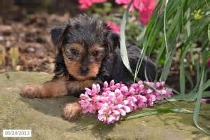 free yorkie puppies in arkansas pets arkansas free classified ads