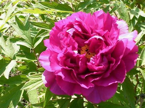 fiore peonia fiore peonia peonia fiore peonia per giardino