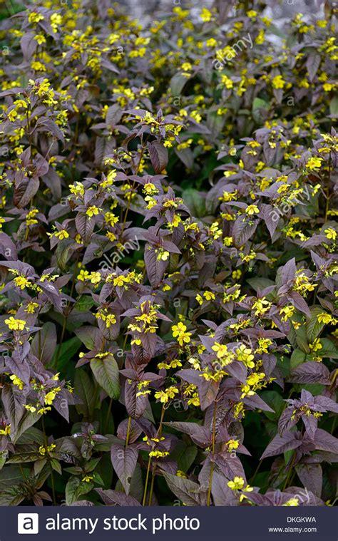 yellow foliage plants lysimachia ciliata firecracker evergreens perennials brown