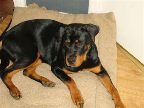 Rottweiler Dog Breed Information Pictures .html | Autos Weblog