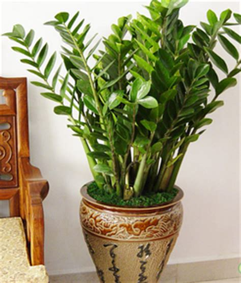 Geldbaum Feng Shui by Important Feng Shui Plants You Must Feng Shui Tips