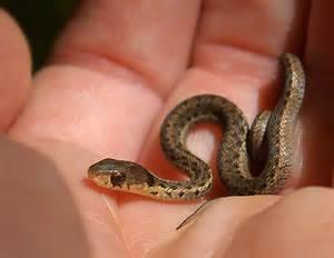 Garter Snake Underground Baby Garter Snake By Cruadin Photo Weather Underground