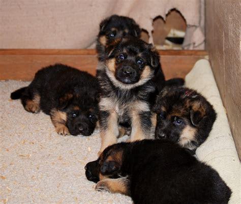 feeding puppies 3 weeks 3 week german shepherd puppies common information and pictures