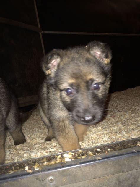 german shepherd puppies for sale in delaware beautiful german shepherd puppies for sale droitwich worcestershire pets4homes