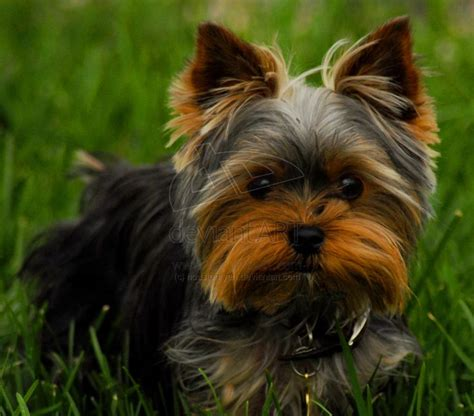 stunning yorkie hair cuts gizmo s haircut yorkies pinterest