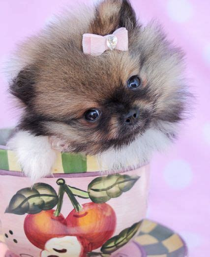 teacup pomeranian miami 19 best morkie puppies at teacups puppies boutique images on shops