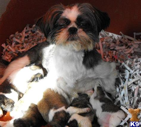 shih tzu for sale vancouver shih tzu puppies for sale uk