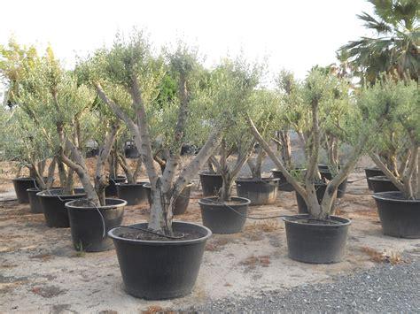 ulivi in vaso piante di ulivi in vaso come fare orto