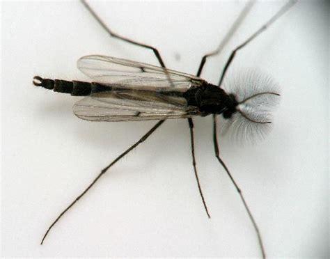 Backyard Flies by Swarming Ghost Midge The Backyard Arthropod Project