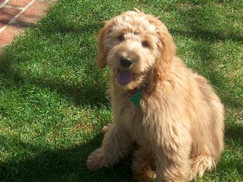 doodle synonym list of synonyms and antonyms of the word medium goldendoodle