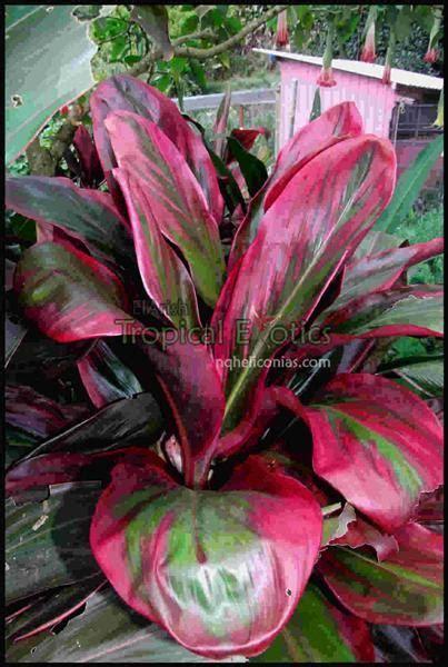 cordyline fruticosa cv david