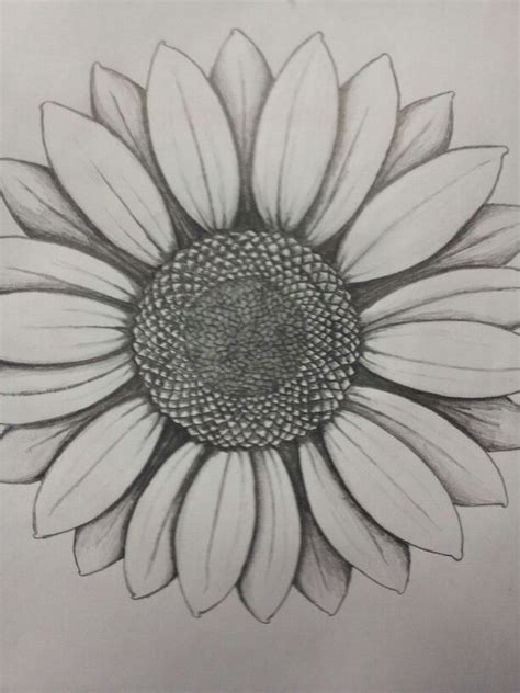 drawn sunflower sketched pencil and in color drawn