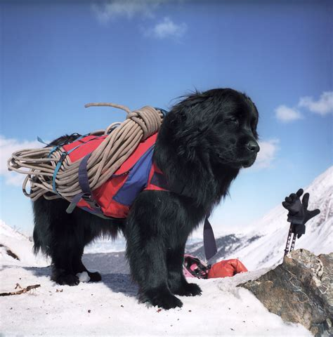 Newfoundland Search Animals On Newfoundland Dogs Newfoundland And Chow Chow