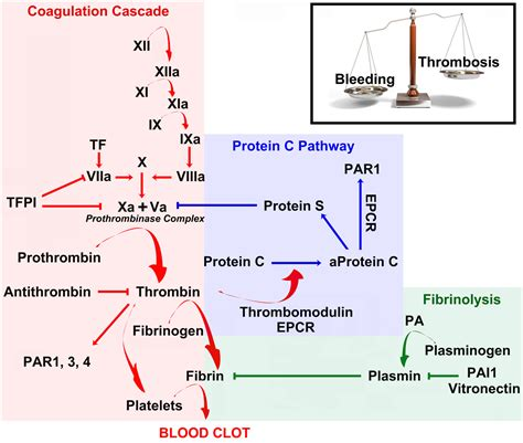 c protein coagulation frontiers thrombin regulation of synaptic transmission