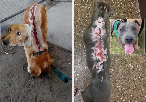 scgrr golden retriever rescue 25k reward approved in suspected animal cruelty updated