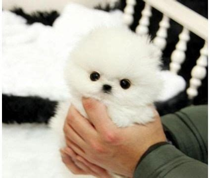 pomeranian jacksonville fl 17 best ideas about pomeranian for sale on teacup pomeranian puppy
