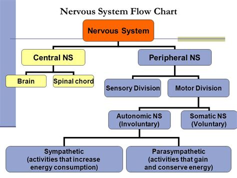 flow diagram of nervous system nervous system flowchart create a flowchart