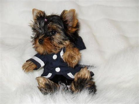 show me a picture of a teacup yorkie 163 best images about yorkies and photos on westminster