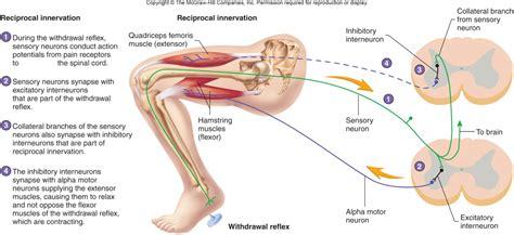 diagram of knee reflex knee reflexes www imgkid the image kid has it