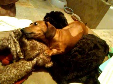 dachshund  days post herniated disc surgery youtube