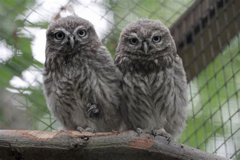 wildwood trust new little owls at wildwood