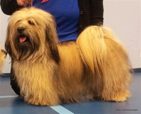 gold havanese 17 best images about havanese on the breed and small