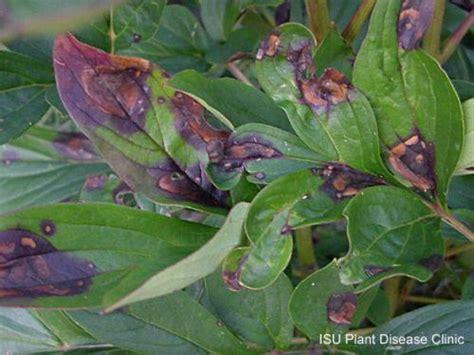 Pfingstrosen Krankheiten by Peony Leaf Blotch Horticulture And Home Pest News