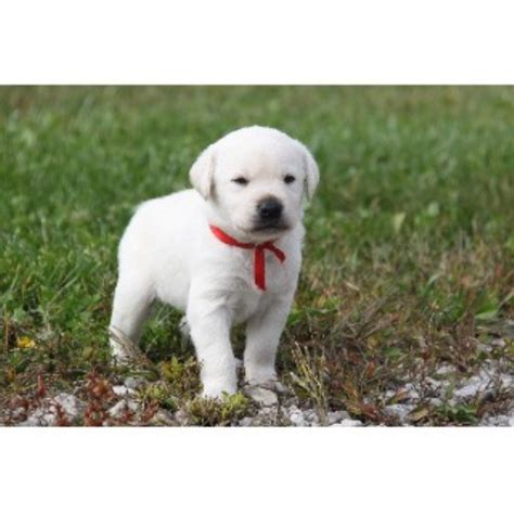 puppies oklahoma labrador retriever lab breeders in freedoglistings page 2 breeds picture