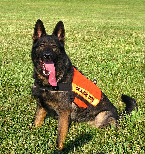 search dogs rex sar flickr photo