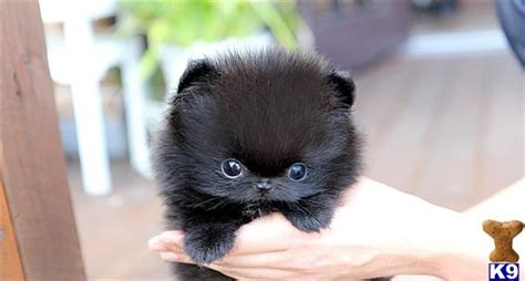 pomeranian black puppies pomeranian puppy for sale poshfairytail black pomeranian teacup 7 years