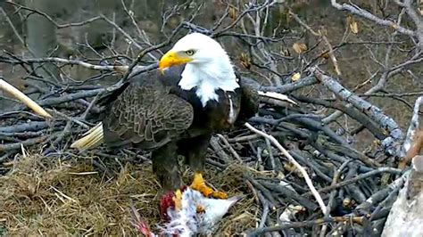 aef dc eagle cam two gifts of food for tfl 01 183 27 183 17