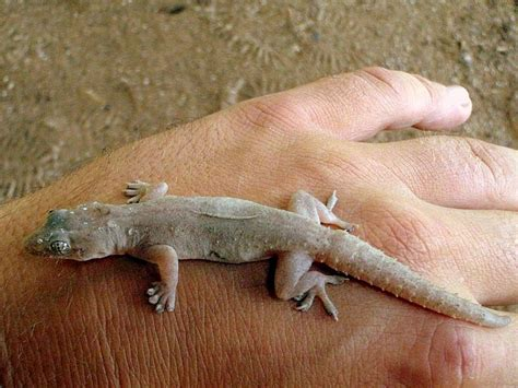 What Do Backyard Lizards Eat by Image Hemidactylus Frenatus House Gecko Biolib Cz