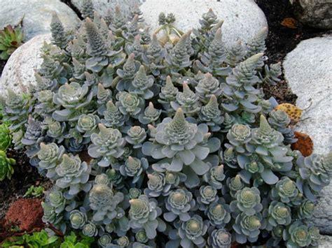 Succulent Planters orostachys boehmeri dunce s cap chinese dunce cap