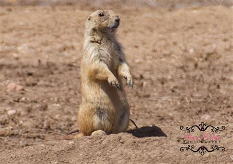 prairie dogs nature minute