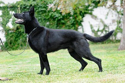black and white german shepherd black german shepherd mygermanshepherd org