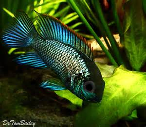 Pictures: above, a young Metallic Blue Acara a few days after arriving