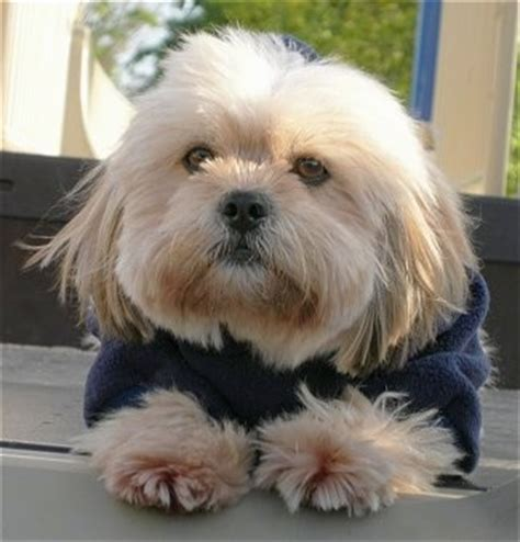 shih tzu vs lhasa apso shih apso breed information and pictures