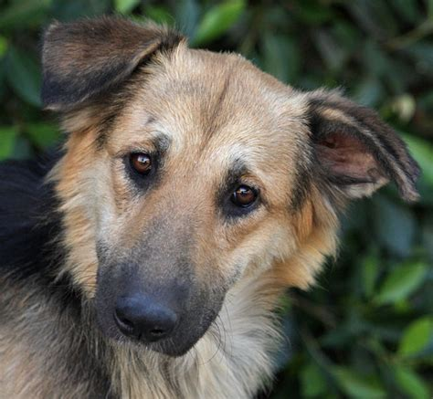 golden retriever mix puppies rescue golden retriever german shepherd mix available for