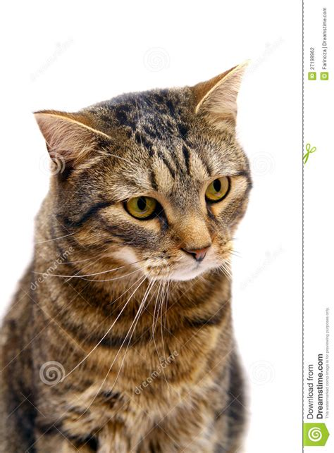 Adult tabby cat on white stock photo. Image of feline
