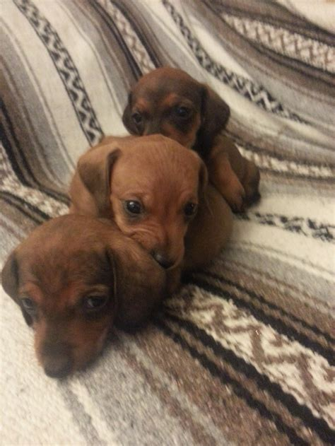 dachshund puppies ohio dachshund puppies for sale columbus ohio home