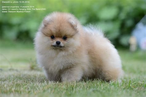 throwback pomeranian puppies for sale of the most popular looking for teacup white pomeranian teacup breeds picture