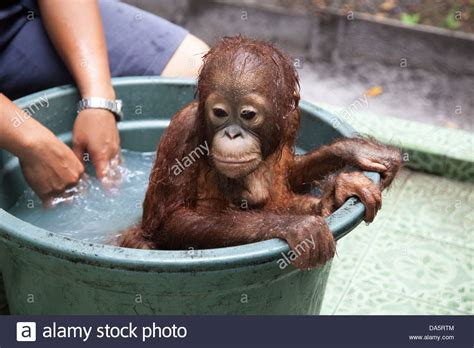 orphan orangutan pongo pygmaeus a bath at the