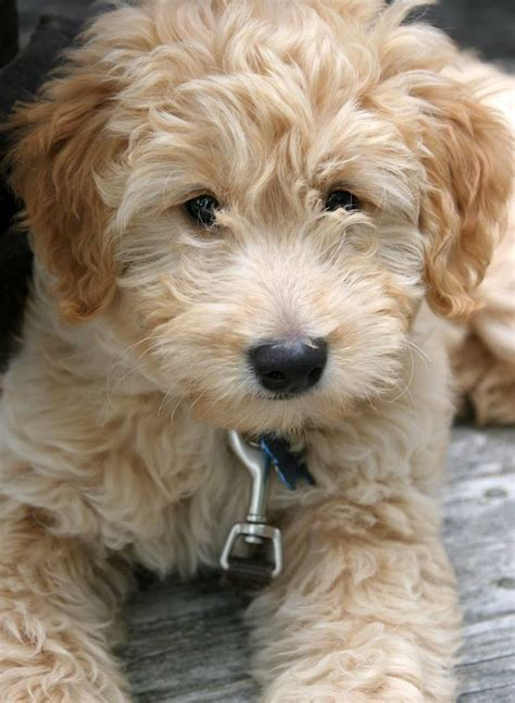 golden labradoodle puppies 1000 ideas about miniature labradoodle on golden doodle puppies