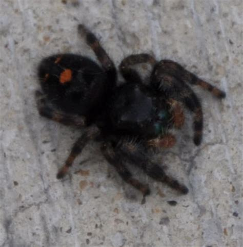 Garden Jumping Spider Poisonous Spiders At Spiderzrule The Best Site In The World About