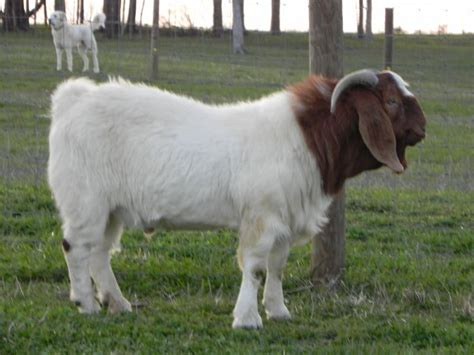 buck for sale in south africa south boer goat bucks boer goats