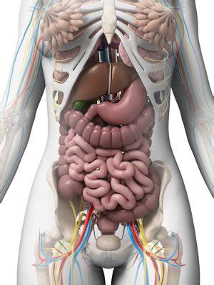 apparato genitale femminile interno anatomia e fisiologia animal biologia net